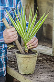 Regeneration of an indoor yucca (Yucca elephantipes) 'Jewel' step by step. 4: Cutting one end from the pruning.