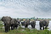 African bush elephant (Loxodonta africana) herd at a waterhole. Selinda. Okavango Delta. Botswana