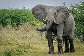 Magnificent african bush elephant (Loxodonta africana) bull in an aggressive posture. Selinda. Okavango Delta. Botswana