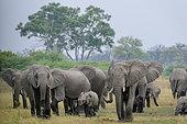 African bush elephant (Loxodonta africana) herd. Selinda. Okavango Delta. Botswana