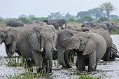 African bush elephant (Loxodonta africana) herd drinking at a waterhole, Selinda, Okavango Delta, Botswana