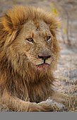 Gorgeous male lion (Panthera leo) with blood mane. Portrait (vertical) orientation and space for masthead and copy. Kalahari. Botswana.