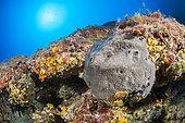 Black horny sponge (Scalarispongia scalaris) in a crevice in the coralligenous. Rade de Villefranche-sur-Mer, Alpes-Maritimes, Provence-Alpes-Côte d'Azur region, France. Within the perimeter of the Cap Ferrat Natura 2000 site.