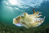 Common cuttlefish (Sepia officinalis)swimming in the Thau lagoon, Bouzigues, Hérault, Occitania, France.