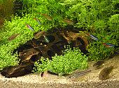 Tétras néons ((Paracheirodon innesi), Tétras drapeau belge (Hyphessobrycon heterorhabdus) et Corydoras divers en bac planté