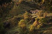 Three Lionesses (Panthera leo) pursuing a buffalo, Massai Mara, Serengeti, Rift Valley province, Kenya, Africa
