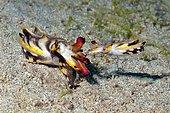 Mating of the flamboyant cuttlefish (Metasepia pfefferi), West Pacific, Philippines, Asia