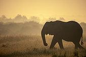 African bush elephant or African savanna elephant (Loxodonta africana) at sunrise. Madikwe Game Reserve. North West Province. South Africa