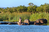 Hippopotamus, hippo, common hippopotamus or river hippopotamus (Hippopotamus amphibius) pod in the water. Eastern Shores. Isimangaliso Wetland Park. KwaZulu Natal. South Africa
