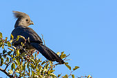 Grey lourie (Corythaixoides concolor), also known as go-away bird and grey loerie perched in a tree. Botswana