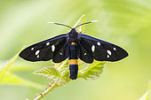 Nine-spotted Moth (Amata phegea), adult seen from the top, Campania, Italy