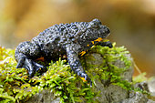 Apennine Yellow-bellied Toad (Bombina pachypus), side view of an adult on some moss, Campania, Italy