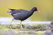 Common Moorhen (Gallinula chloropus), side view of an adult walking in a marsh, Campania, Italy