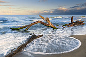 Marine landscape, dead tree hit by waves on the shore, Campania, Italy