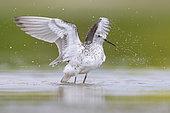 Chevalier stagnatile (Tringa stagnatilis) battant des ailes dans l'eau, Campanie, Italie