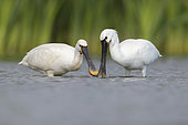 Eurasian Spoonbill (Platalea leucorodia), two immatures looking for food in the water, Campania, Italy