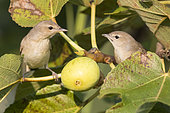 Garden Warbler (Sylvia borin), two individuals in a Common Fig tree, Campania, Italy