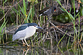 Black-crowned Night Heron (Nycticorax nycticorax), side view of an adult perched on a branch, Campania, Italy