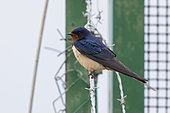 Barn Swallow (Hirundo rustica), side view of an adult female perched on a barbed wire, Campania, Italy