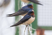 Barn Swallow (Hirundo rustica), two indidivudals perched on a barbed wire, Campania, Italy