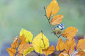 Mésange bleue (Cyanistes caeruleus) sur une branche de hêtre en automne, Moselle, France