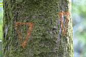 Tree to be felled marked by ONF, summer, Moselle, France