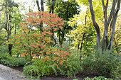 Sumac amarante (Rhus typhina) dans un jardin en automne, Somme, France