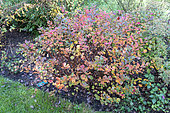 Fortune meadowsweet (Spiraea japonica) 'macrophylla' in autumn, Somme, France