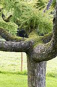 Mélèze pleureur (Larix kaempferi) 'pendula' dans un jardin, automne, Somme, France
