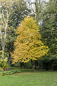 Beech (Fagus sp) in a garden in autumn, Somme, France