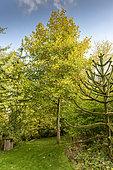 Largeleaf linden (Tilia platyphyllos) in a garden in autumn, Somme, France