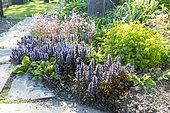 Carpet Bugle (Ajuga reptans) in bloom in a spring garden, Pas de Calais, France