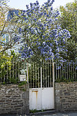 Ceanothus (Ceanothus sp) in bloom in a garden, Ille-et-Villaine, France