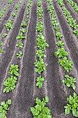 Rows of potatoes (Solanum tuberosum) in a vegetable garden in spring, Pas de Calais, France