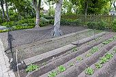 Sowing of peas (Pisum sativum) protected by a net, spring, Pas de Calais, France