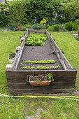 Spinach (Spinacia oleracea) growing in a vat in spring, Pas de Calais, France