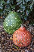 Potimarron et courge calebasse dans un jardin, automne, France, Allemagne