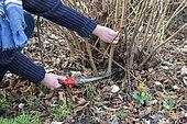 Woman cutting stems of hazelnut (Corylus avellana) with a hand saw in winter, Pas de Calais, France
