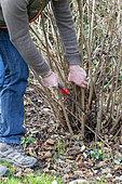 Man cutting stems of hazelnut (Corylus avellana) with a hand saw in winter, Pas de Calais, France