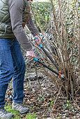 Man cutting stems of hazelnut (Corylus avellana) with a pruner in winter, Pas de Calais, France