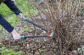 Woman cutting stems of hazelnut (Corylus avellana) with a pruner in winter, Pas de Calais, France