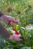 Man cutting faded Agapanthus flowers in winter, Pas de Calais, France