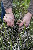 Removal of dry horsetail stems (Equisetem sp), winter, Pas de Calais, France