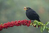 Blackbird (Turdus merula) perched on a Pyracantha, England