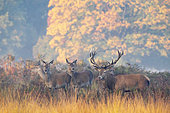 Red deer (Cervus elaphus) stag and hinds standing in a meadow, England