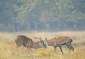 Red deer (Cervus elaphus) fighting in the mist, England