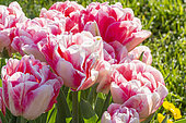 Tulipa 'Peach Blossom'
