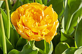 Tulipa 'Sun Lover'