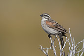 Cape bunting (Emberiza capensis), Western Cape, South Africa, December 2018