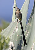 Cape Sugarbird (Promerops cafer), Western Cape, South Africa, December 2018